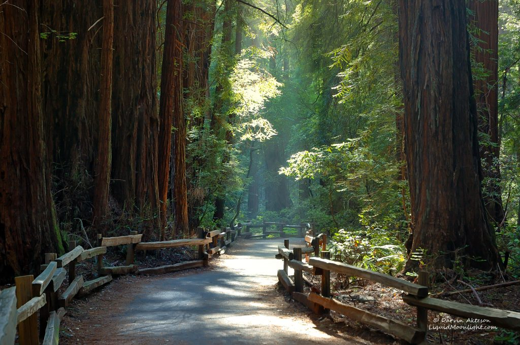 This image was one of my first of John Muir Woods. Hard to believe it is only just a few short miles from downtown San Francisco.You can visit Muir Woods year round. Now you might think from this image that the park is relatively uncrowned. That is NOT the case. Even on stormy wintery days, the park is full of people and getting a shot like this is near impossible. You must have a lot of patience or a few photography tricks up your sleeve.