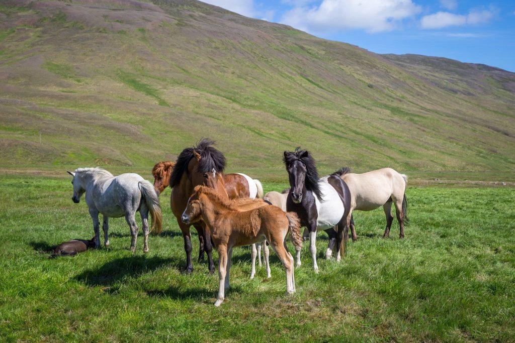 Cavalli selvaggi in Islanda. Organizzare un viaggio Low cost in Islanda: itinerario, consigli, mappe e indirizzi utili